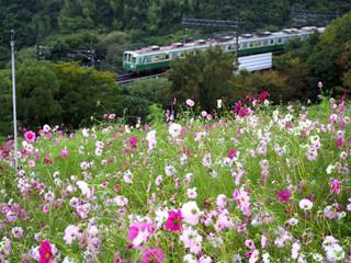 雨のコスモスの丘(神戸総合運動公園)