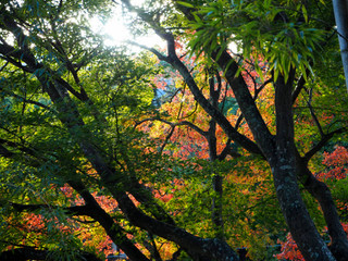緑と紅の色合い(最上山公園のもみじ山)