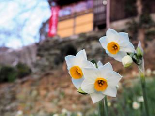 紀三井寺、1月のスイセン