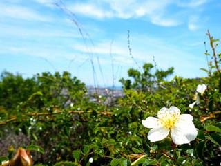 宝殿山の白い花