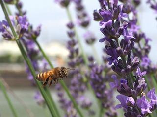 ミツバチの飛翔
