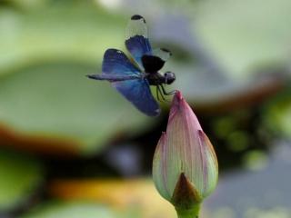 蓮池のトンボ