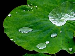 蓮の葉の水玉