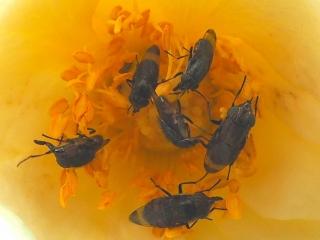 バラの花にツマグロキンバエ