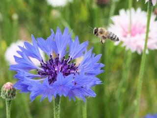 花壇で花粉団子を運ぶ蜂