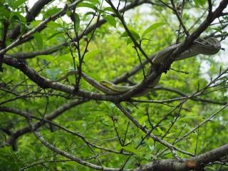 枝の上で二つ折りになっていた蛇
