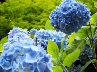 西新宿 おじいちゃんとおばあちゃんの花しょうぶ園のアジサイ