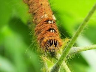 クヌギカレハの幼虫?