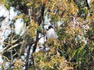 メジロが群れている木に一羽白いのがいた